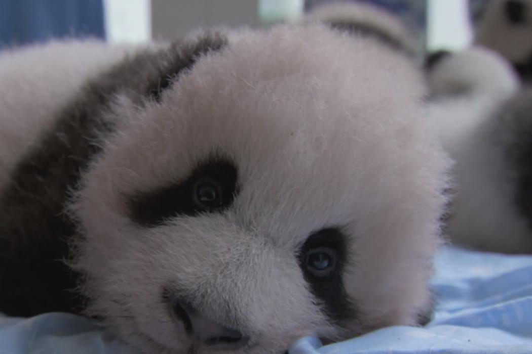 "Baby panda. ""Earth: A New Wild."""