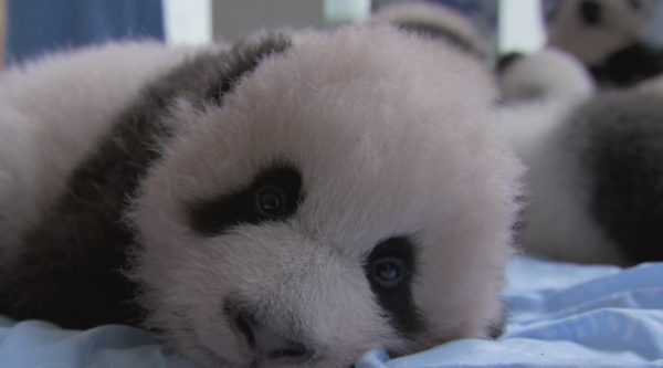 "Baby panda. ""Earth: A New Wild."""