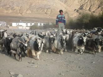 Tibetan goats. Photo by Adam Schorsch/Flickr Creative Commons.