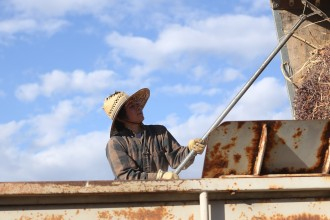Nikiko Masumoto works during a grape harvest on the family farm in Del Rey, CA. Photo by Alan Sanchez.