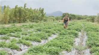 MA'O Organic Farm is run by youth in and near Waianae, Hawai'i